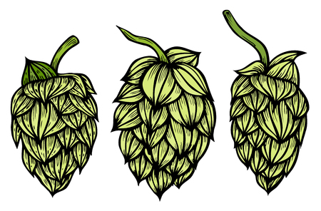 herbaceous: Colored Hand drawn engraving style Hops set. Common hop or Humulus lupulus branch with leaves and cones. Vector illustration