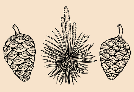 Forest collection of coniferous branches and pine cones isolated on white background. Hand drawn design vector elements. Illustration