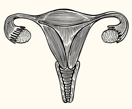 Illustrazione medica, organi sessuali interni di una donna, utero, ovaie, tubi folici, disegnati nello stile dell'incisione. Vettore su sfondo beige