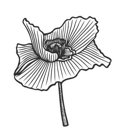 Hand drawn floral engraving poppy flower on white background.