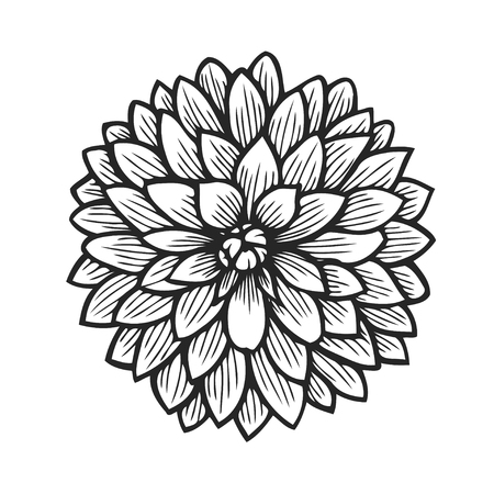 Hand drawn floral engraving dahlia flower on white background.