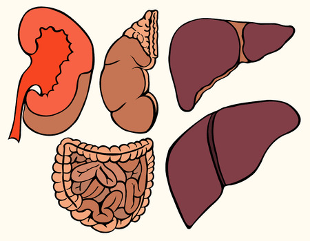 Colored Healthy viscera system part isolated on white paper background. Illustration