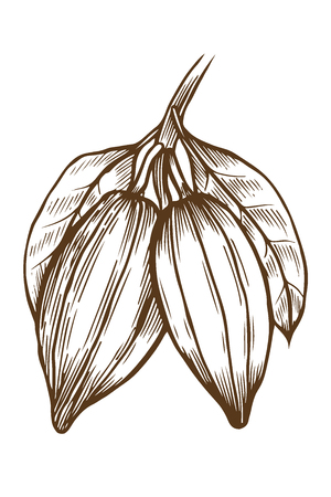 Hand drawn Cocoa illustration, in old style engraving, ink, line art, vector