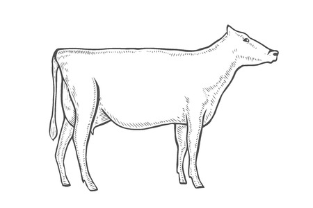 Black and white engrave isolated vector cow.