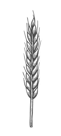 Illustrazione vettoriale disegnato a mano di grano. Isolato su sfondo bianco. Stile retrò.