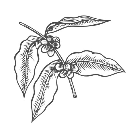 Coffee branch, plant with leaf, berry, fruit and seed. Natural caffeine drink. Vector vintage drawn engraving illustration on white background for shop and cafe