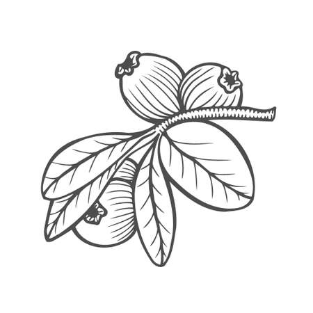 Bilberry - vector Hand drawn sketch illustration isolayed on white