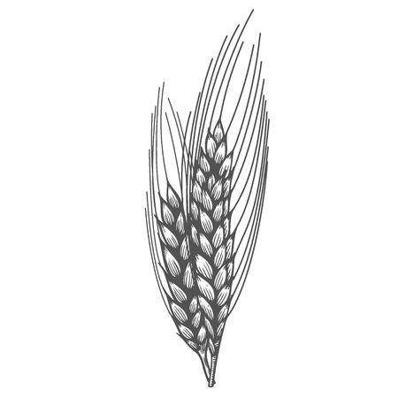 Illustrazione disegnata a mano di schizzo del raccolto del cereale delle orecchie del pane del grano. Orecchio nero isolato su sfondo bianco. Glutine ingrediente alimentare incisione stile vintage retrò. Vettoriali