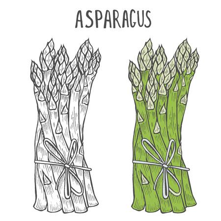 Asperges dessinées à la main. Modèle pour vos travaux de conception. Illustration vectorielle de style gravé. Vecteurs