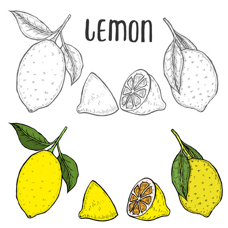 Whole lemon, sliced pieces, half, leafe and seed sketch. Fruit engraved style illustration. Detailed citrus drawing. Great for water, juice, detox drink