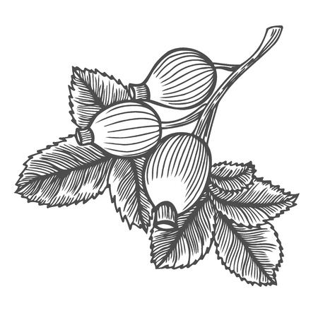 dog-rose, sketch vintage engraved illustration Isolated on white