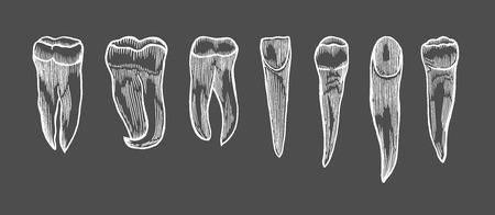 Engraving vintage tooth set. Hand drawn illustration isolated on black Vector Illustration