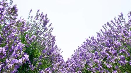 Violet lavender field for your floral background on horizontal web header or banner. Summer season fresh lavanda flowers at pastel colors of ultraviolet tone. Standard-Bild - 122845676