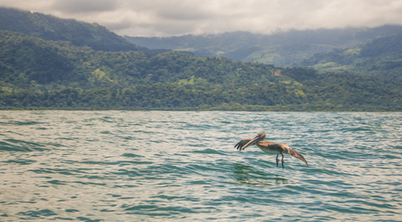 Pelican glides over the water.