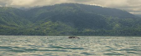 Une maman Baleine à bosse plonge avec son bébé à côté d'elle dans les aires de reproduction situées au large de la côte du Costa Rica. Banque d'images - 81783669
