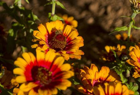 Eine Biene poliert ein schönes Gänseblümchen Standard-Bild