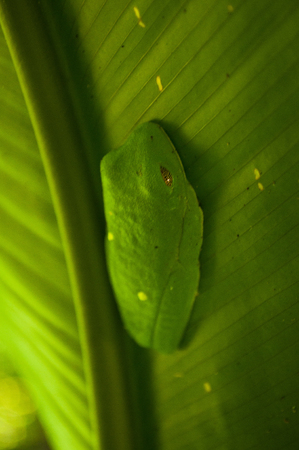 A tree frog sleeps with amazing patterned eyes blending into its bed. Reklamní fotografie