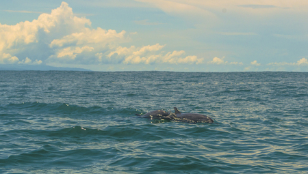 Dolphins in the tropical pacific waters of Costa Rica.