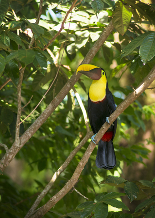 A Mandibled Toucan sits in a tree in the tropical Costa Rica