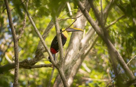 A beautiful Toucan sits in a Malinche tree in the Southern Pacific Zone of Costa Rica.