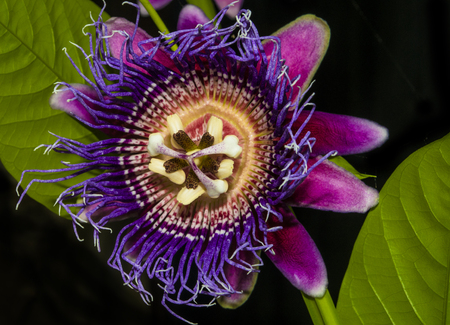 Closeup of a passion flower blooming Reklamní fotografie
