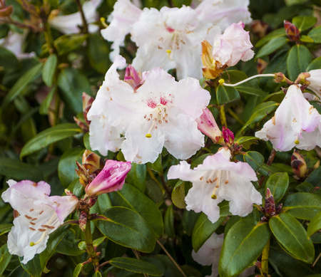 A bouquet of white rhododendrons grows in a garden in california.