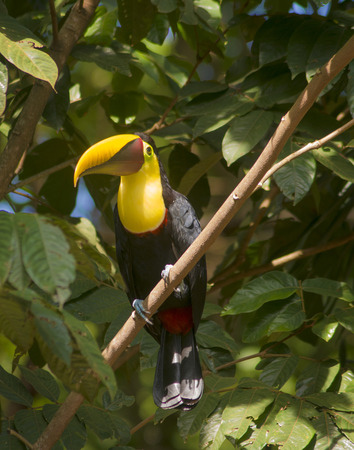 sized: A Toucan catches some sun rays in beautiful Costa Rica. Stock Photo