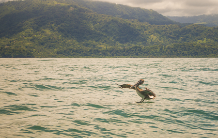 A Pelican lands in the turqoise waters off the Costa Rican coast.