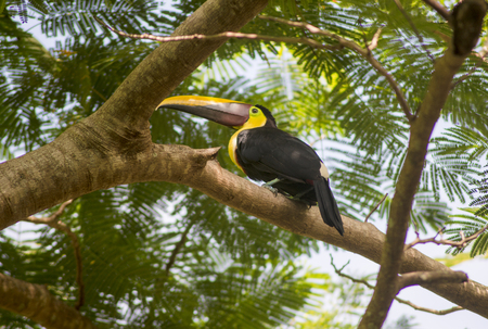 A beautiful Toucan sits in a Malinche tree searching for food in the Southern Pacific Zone of Costa Rica. Reklamní fotografie