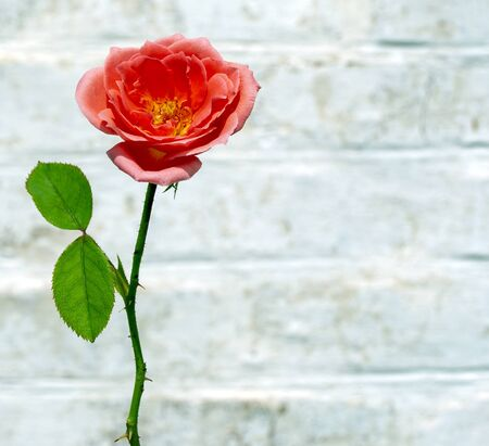 The blossoming beautiful scarlet pink rose against a white brick wall, photo with space for text.