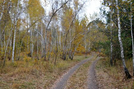Birch grove, autumn. A winding dirt forest road extending into the distance among birches. 写真素材