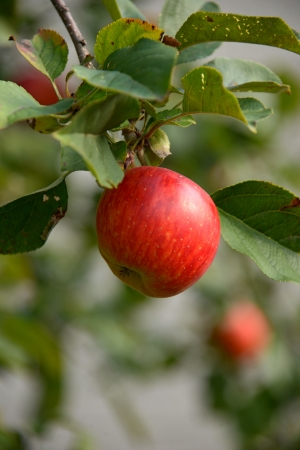 one red apple on a tree Stock Photo