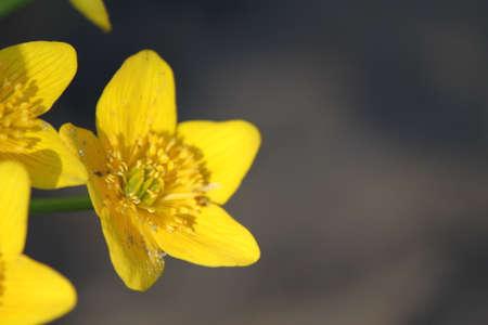 Yellow Flower 版權商用圖片