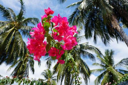Pink bugenvillia flowers against palm tree crowns Banco de Imagens