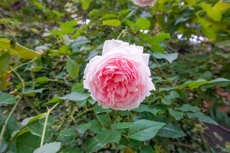 Pink rose Rosaceae family