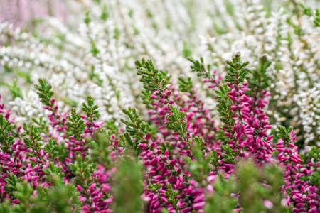 singaporean: Lavender flowers Lamiaceae family in Singaporean gardens