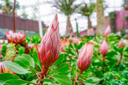 Protea cynaroides or king protea flower-bud in Singaporean gardens