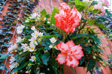 クローブ ピンクやナデシコの花