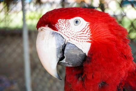 Portrait of Big Red Parrot