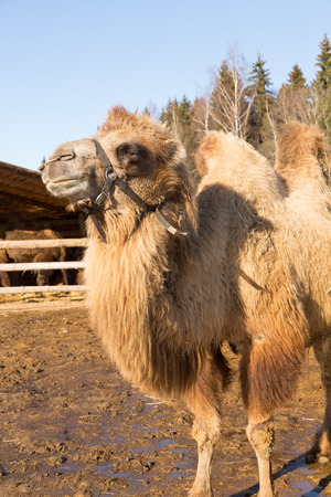farmstead: The camel on a farmstead stands against a log house Stock Photo