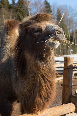 farmstead: The camel on a farmstead eats a grass Stock Photo
