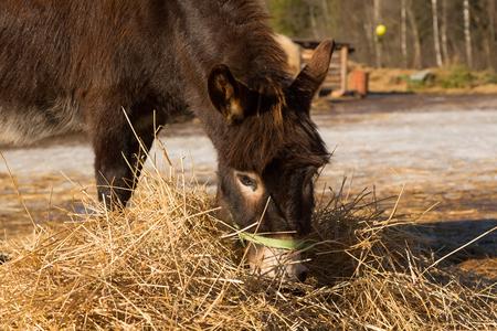 farmstead: The donkey on a farmstead eats a grass