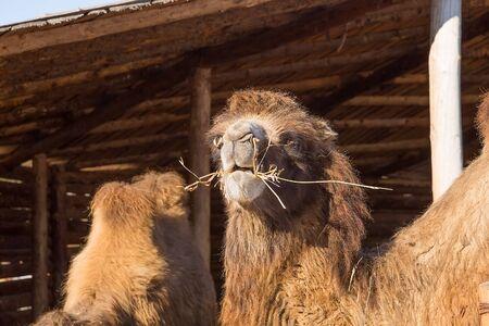 eats: The camel on a farmstead eats a grass Stock Photo