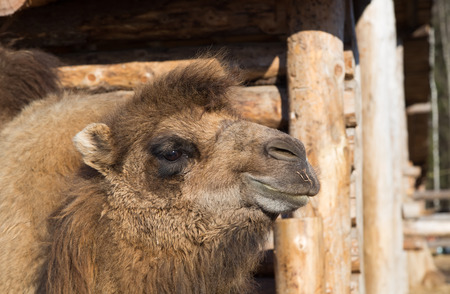 log house: The camel on a farmstead stands against a log house Stock Photo