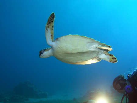 Turtle and Diver with light in Red Sea