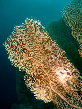 gorgonian: Gorgonian in the Red sea