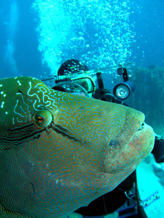 Napoleonfish and diver.Diving on Indian ocean.