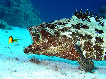 Attack big grouper on small  damselfish