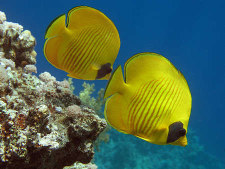 Masked Butterfly Fish Stock Photo - 2715424