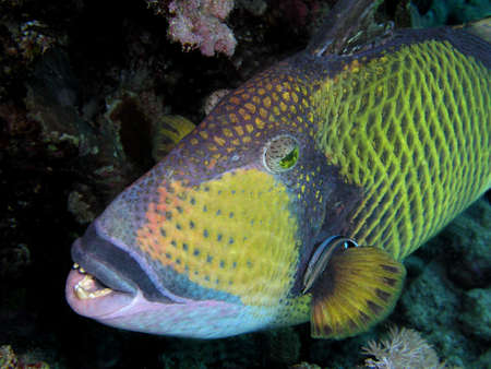 Triggerfish     photo